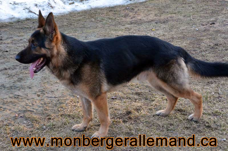 Big le Terrible , Male berger allemand 20 Mars 2012